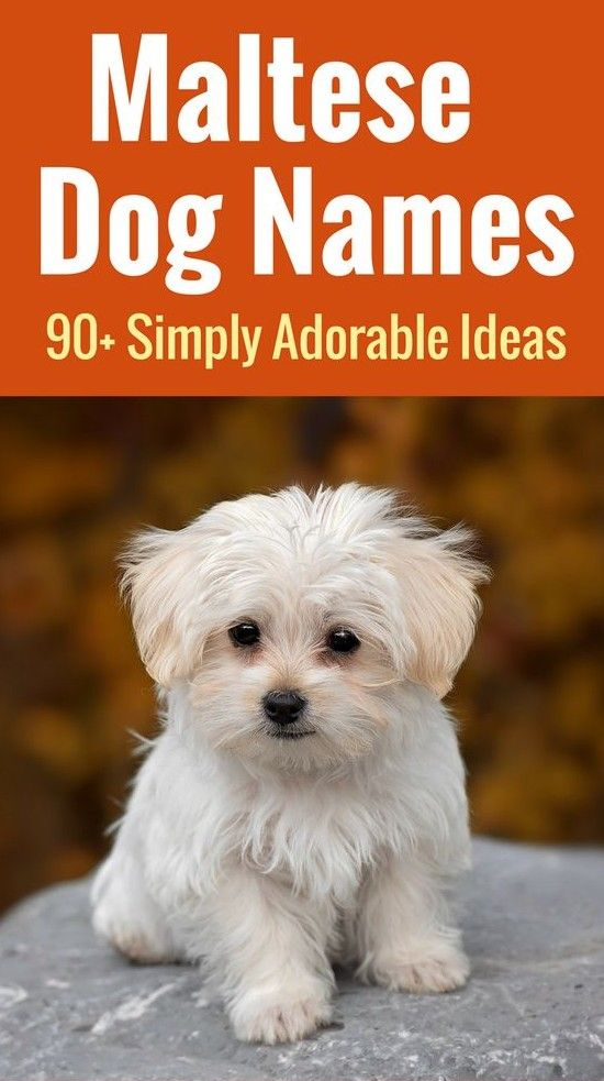 Maltese Dog Names 99 Adorable Ideas For Maltese Pups Maltese Dogs Dog Names Maltese Puppy Care