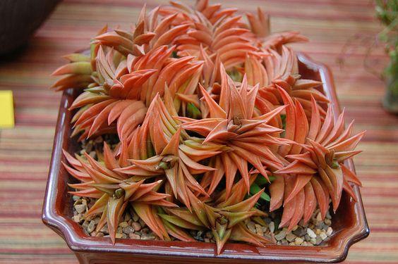 haworthia limifolia: