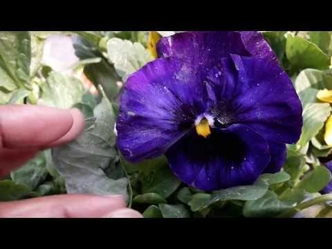80 Winter Flower Pansies Butterfly Flower Cat Flower Grow N Care Tips Hindi Urdu Youtube In 2020 Winter Flowers Cat Flowers Pansies