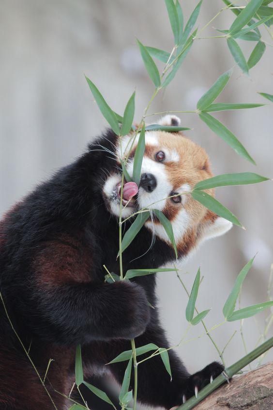 レッサーパンダ笹の葉を一生懸命食べる姿