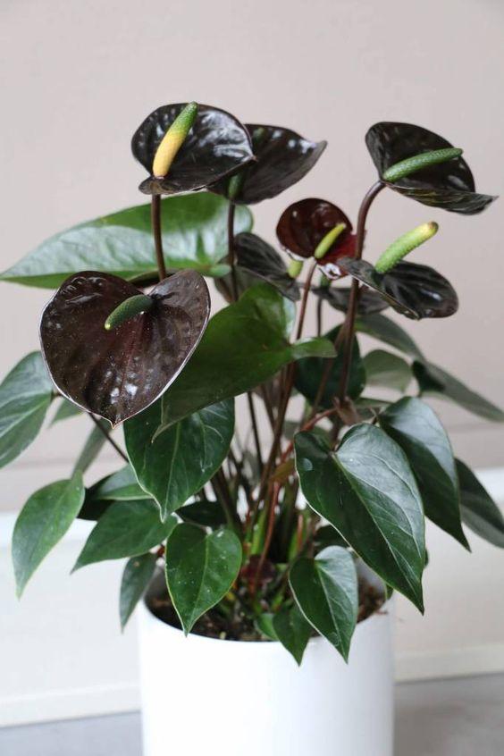 Black Beauty Anthurium Flower Anthurium Info Kamerplanten Bladplanten Planten