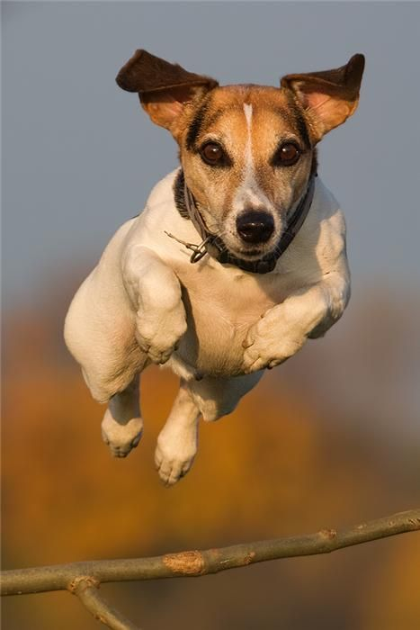 POING....Jack Russell in action!: