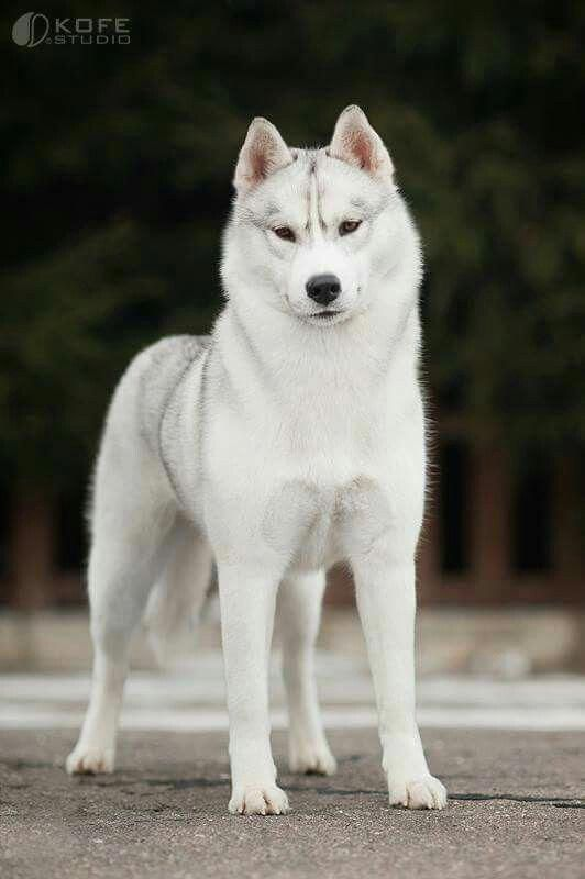 Discover Intelligent Siberian Husky Puppy Exercise Needs