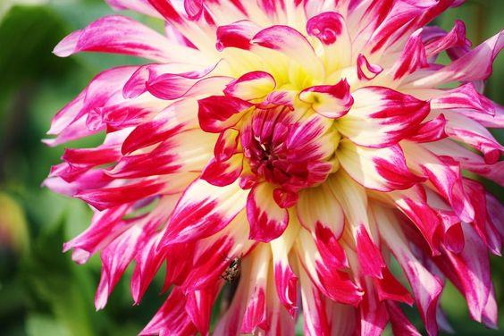Aster flower: