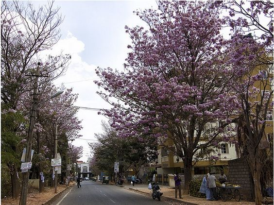 Purple Trees - Bengaluru Street