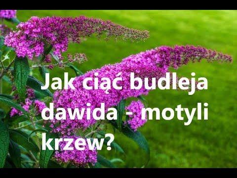 Jak Ciac Budleje Dawida Aby Kwitly Budleja Dawida Motyli Krzew Uprawa Budlei W Ogrodzie Dalie Youtube Garden Wall Garden Plants