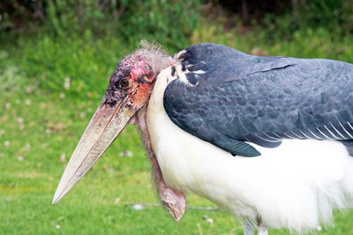 Edwina, Marabou Stork
