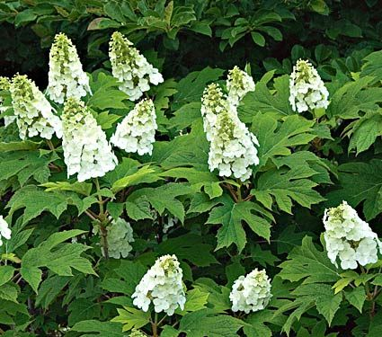 Hydrangea quercifolia Snow Queen(full or part sun; blooms june-july, 4-6' height...likes moist soil) This could be good one the raised beds near the pond.