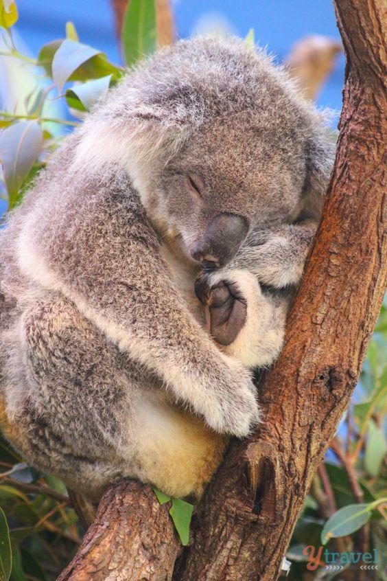 See Koalas at Dreamworld on the Gold Coast, Australia