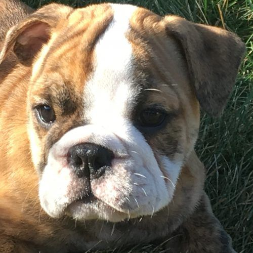 Miniature English Bulldog Puppy In Paynesville Minnesota For Sale