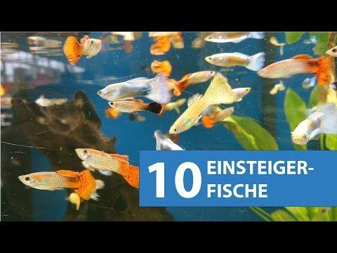 10 Aquarium Fische Fur Anfanger Youtube Aquarium Fische Aquarium Fur Anfanger Aquarium