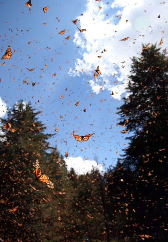 Nesta foto sem data disponibilizada pela Sonia Altizer através da revista Nature em terça-feira 30 de setembro, 2014, borboletas monarca enchem o ar em um local no México.  As borboletas são famosas pela migração de os EUA e Canadá para o México para o inverno.  Um estudo realizado pelo pesquisador Marcus Kronforst da Universidade de Chicago lançado na revista Nature em quarta-feira 1 de outubro, 2014 sugere a própria espécie também começou na América do Norte, cerca de 2 milhões de anos ...