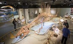 A life-size model of a Spinosaurus dinosaur at the National Geographic Society in Washington. Spinosaurus waded and swam after prey like sharks, car-size fish and crocodilians
