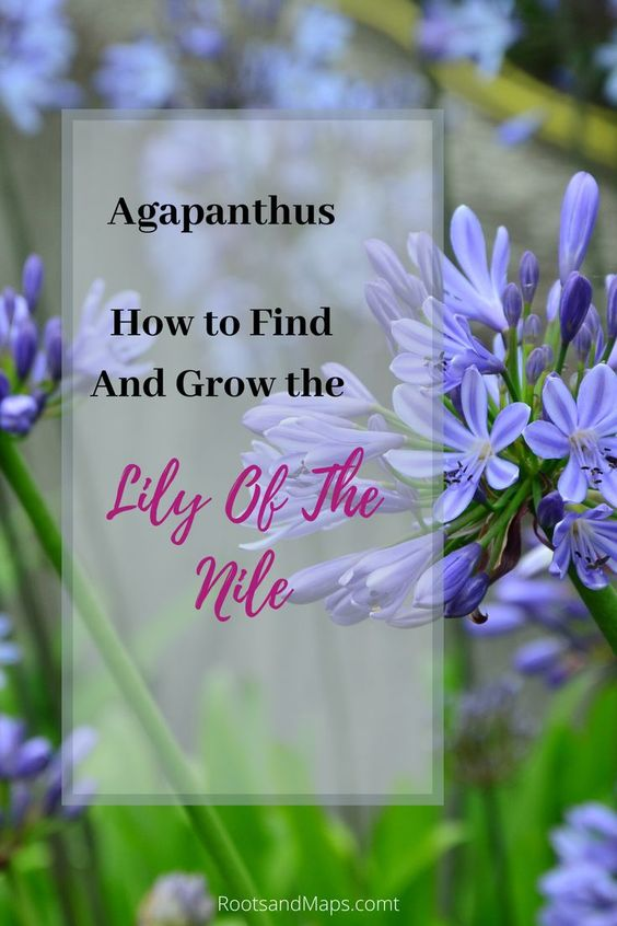 Agapanthus For The Victorian Romantic In All Of Us In 2020 Agapanthus Showy Flowers Plants