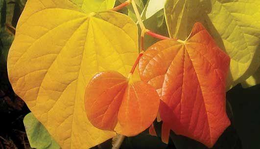 The Rising Sun Redbud Tree.  Gardendebut.com