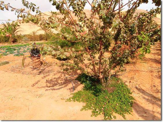 urban desert gardening | jordan | apricot with ground cover