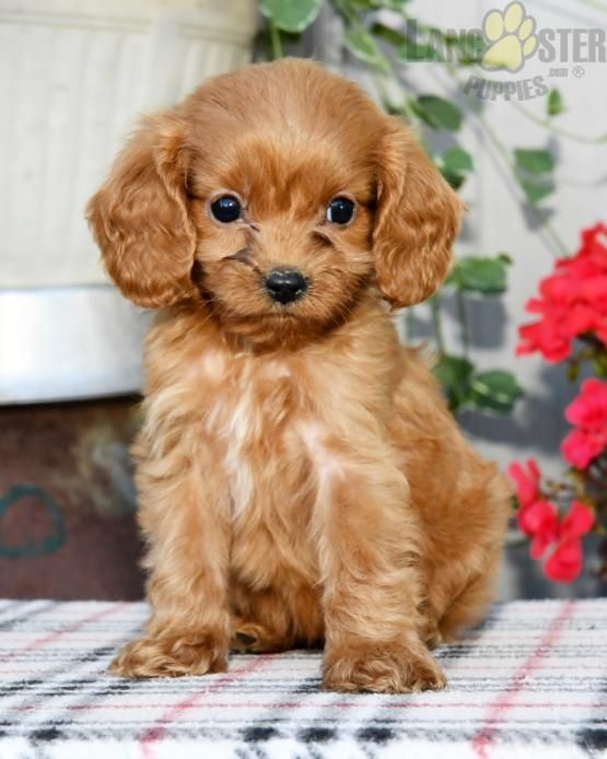 Pin By Buckeye Puppies On Cavapoo Puppies In 2020 Cavapoo Cavapoo Puppies For Sale Cavapoo Puppies