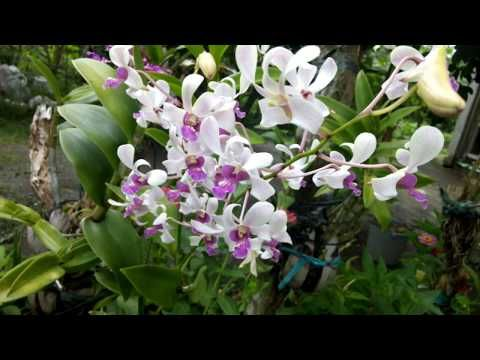 How To Use Rice Water As A Orchid Fertilizer Youtube Orchid Fertilizer Growing Orchids Orchids