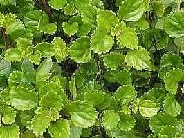 Plectranthus sp - Hera-sueca - As espécies mais comuns em cultivo são a P. coleoides, P. nummularius, P. australis, e P. verticillatus. Indicadas para vasos e jardineiras, como planta pendente além de servir também como forração, sempre à meia-sombra