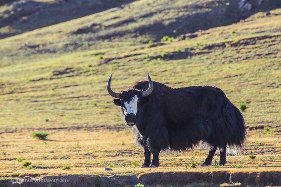 Yak Nepal Nepal Special Animals