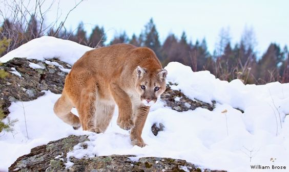 Photo of the Day: Mountain Lion