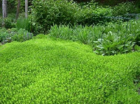Gallery For gt Sedum Sarmentosum Ground Cover
