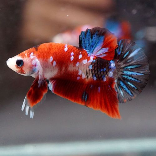 Live Betta Fish Fancy Super Red Koi Galaxy Halfmoon Plakat Hmpk Male 395 Betta Betta Fish Fish