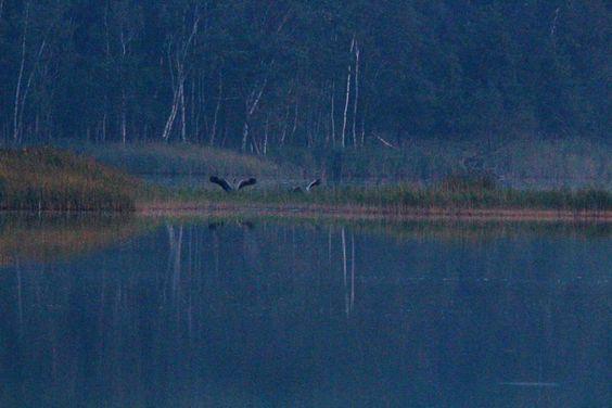 Ein Abend mit den Kranichen im Müritz-Nationalpark | Kraniche landen auf den Schläfplätzen des Rederang See im Müritz-Nationalparks © Frank Koebsch (1)
