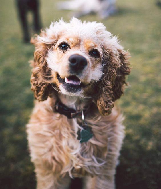 Rosie the 1.5yr old Cocker Spaniel.  #zilkerbark by zilkerbark: