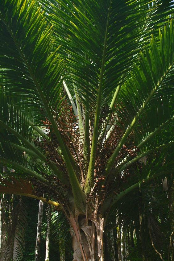 Metroxylon Amicarum Of The Arecaceae Family With Images Palm Trees Garden Design Green Plants