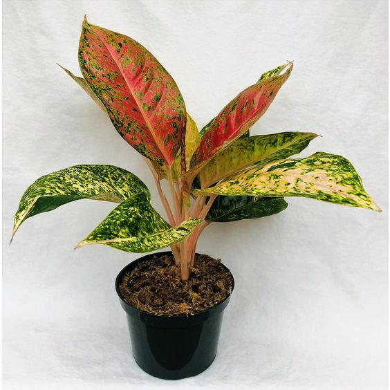 Aglaonemas or Chinese evergreen plants are some of the most popular indoor plants. They are easy to care for. This Pink Aglaonema is 1 of the most beautiful varieties. Its big leaves are marbled pink, red and green with pink leaf stem. Its a great look for an indoor or outdoor setting. The Aglaonema adjust well in any environment such as home or office. They can also be used in outdoor landscapes under sufficient shade.