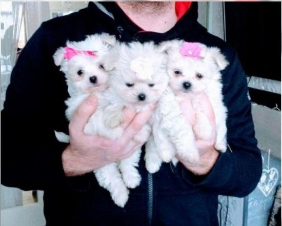 D 321 Cavamalt Puppy Maltese Puppy Puppies Unique Dog Breeds