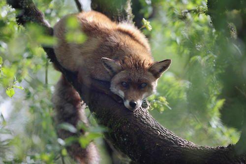 (via 500px / renard sur une branche_fox by garasac)