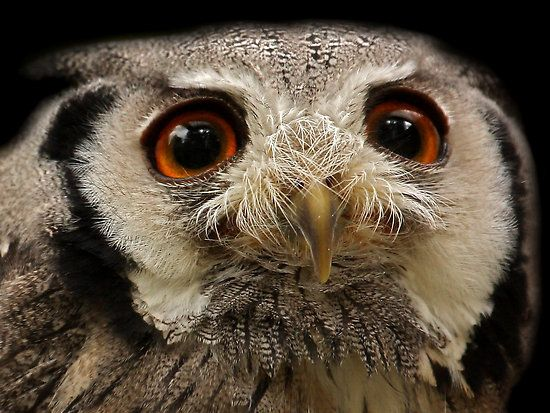 White-faced Scops Owl by Mark Hughes. Great shot. Love the detail.