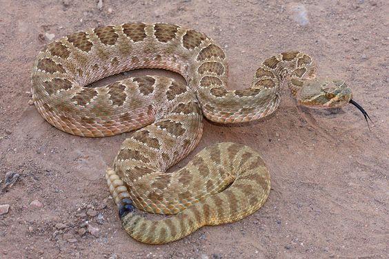 Prairie Rattlesnake venomous