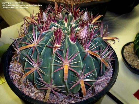 Devil cactus and barrels on pinterest for Fish hook cactus