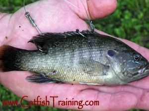 Bluegill live bait double stinger hook catfish baits for Bluegill fishing bait