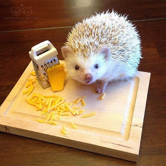 From @pierre_the_hedgehog #cutepetclub: