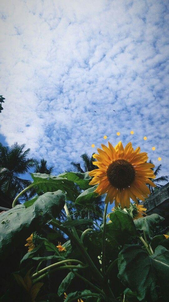 Sunflower Fotografi Alam Pemandangan Latar Belakang