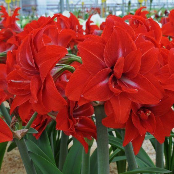 """Amaryllis - Hippeastrum 'Double Delicious' - Sie fällt nicht nur durch ihre helle Farbe auf, sie hat auch wunderschöne symmetrische Blütenblätter, die ihr eine elegante Ausstrahlung verleihen. Die manchmal vorhandenen weißen """"Federn"""" in ihrer Blüte, lässt das Rot noch etwas heller erscheinen."""