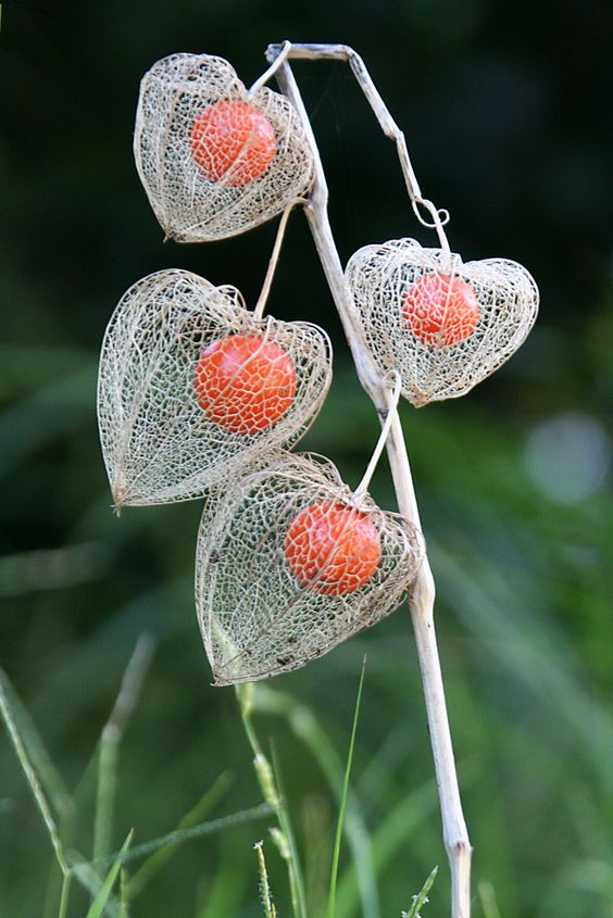 Chinese Lantern Plant | www.gettyimages.com 145664219 © 2005… | Flickr - Photo Sharing!: