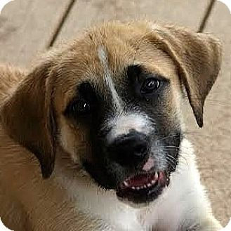 Waterloo, IL - Great Pyrenees/Boxer Mix. Meet Kirby, a puppy for adoption. http://www.adoptapet.com/pet/13194843-waterloo-illinois-great-pyrenees-mix