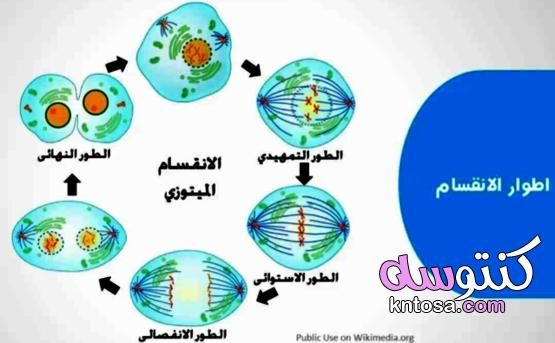 مراحل الانقسام الميتوزي Kntosa Com 02 19 157 Drawings Pie Chart Art