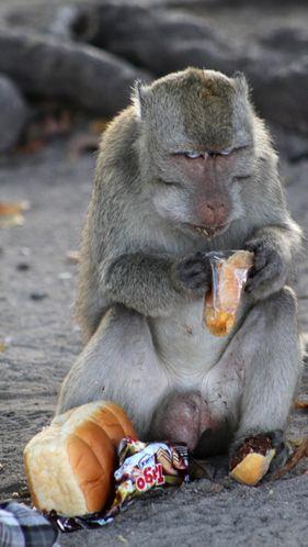 Au sein du parc naturel de Situbondo, en Indonésie, les singes sont rois. Et les touristes qui s'y promènent sont des cibles privilégiées pour les animaux voleurs: ils leur dérobent boissons et nourriture. Les visiteurs tentent rarement de récupérer leurs biens, par crainte d'une attaque coordonnée menée par les singes. Ils sont plusieurs centaines à organiser ce racket... pour des festins immortalisés par les touristes.