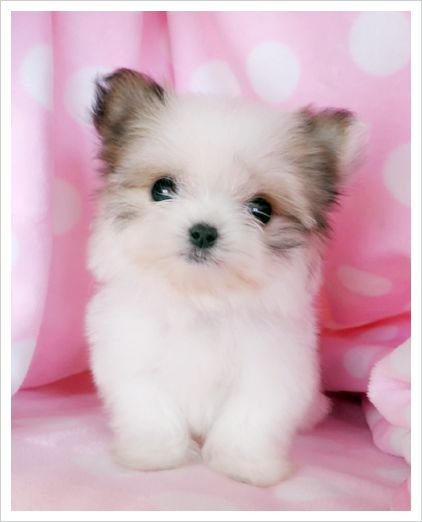 OMG She is precious!!!!!  I want her!  Papillon/Maltese Puppy