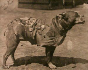 Awesome Wonders: Sgt. Stubby(1917-1926):A PITBULL