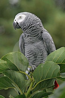 African Grey parrot--A most incredible species. The famous departed Alex showed language ability equal to human toddlers, forming sentences even. Bear in mind before getting a bird they are far, far more intelligent than many people realize.
