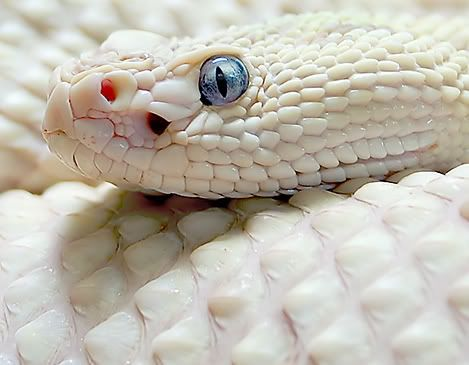 White Rattler. Note blue eyes,not an albino.: