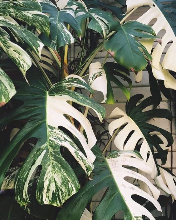 no two leaves of the variegated monstera are ever the same. Black Bedroom Furniture Sets. Home Design Ideas