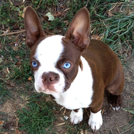 Red Boston Terrier with blue eyes
